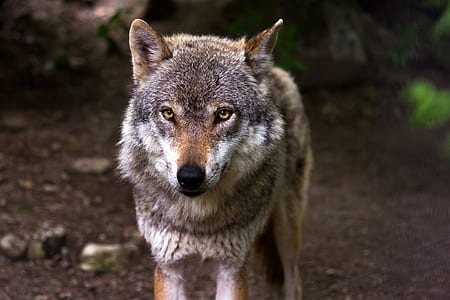 gray and brown wolf