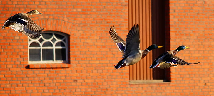 three mallard ducks flying near brown concrete building