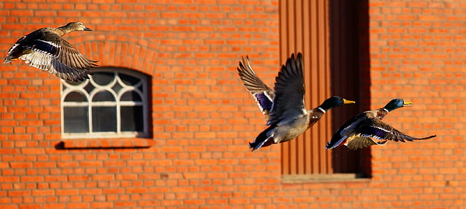three mallard ducks flying near brown concrete building