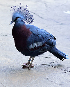 closeup photo of Victoria crowned pigeon