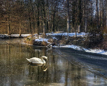swan surrounded by bare trees