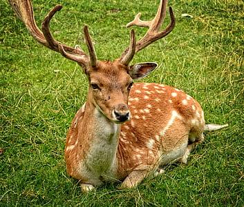 Elk Lying on Green Grasses