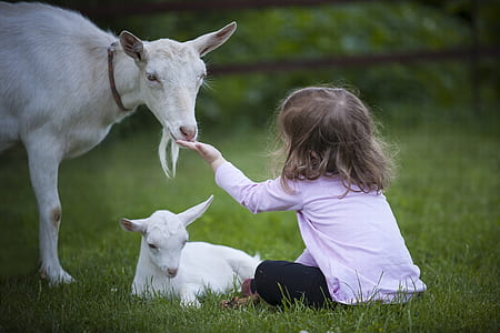 toddler wearing pink sweatshirt feeding a white goat