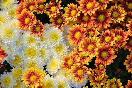flat lay photography of sun flowers