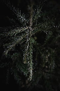 close up photography of pine tree branch