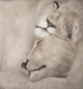 closeup photo of two Lioness