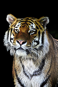 close up photograph of tiger