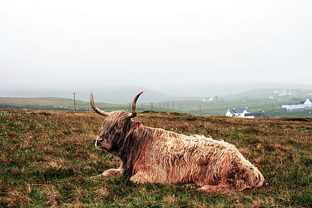 brown yak prone lying on grass during daytime