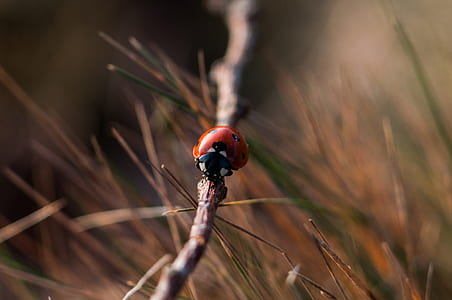 red and black beetle on brown branch