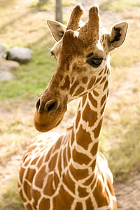 closeup photography of brown and white giraffe