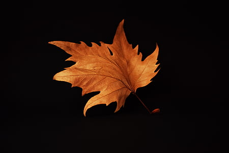 brown maple leaf with black background photo