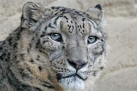 white brown, and black jaguar close-up photo