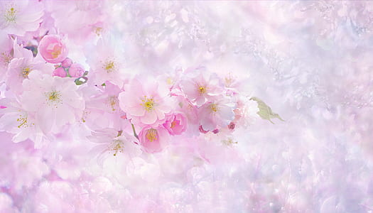 cherry blossom digital wallpaper