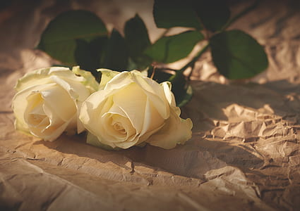 two white rose flowers on brown paper
