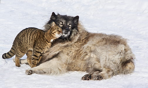 large long-coated fawn and black dog lying on snow with gray tabby cat during daytime