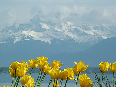 yellow petaled flowers with snow cap mountain in background