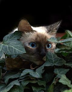 photo of Siamese cat