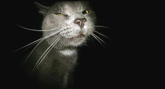 short-coated gray cat