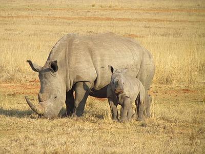 two grey Rhinoceros standing on grass ground
