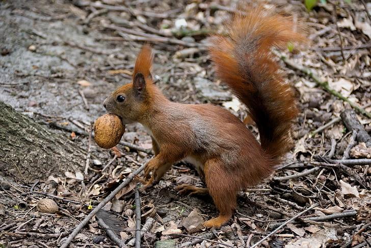 brown squirrel biting nut during daytime
