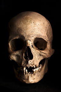 human skull photography