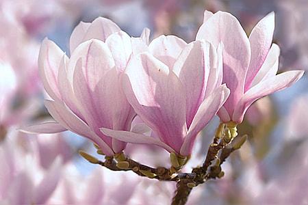 Sakura, leaf, tree, tulip magnolia, magnolia x soulangiana, spring