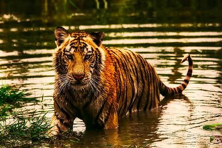 tiger on water during daytime