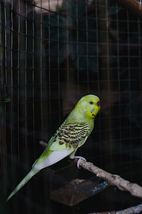 Cute colorful budgies in cage