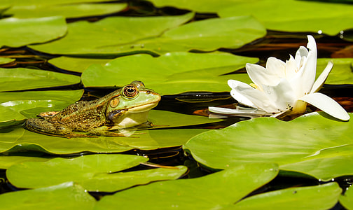 frog on lily pod near white waterlily flower at daytime