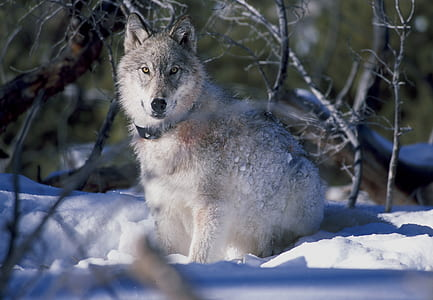 photo of wolf on ground covered with snow
