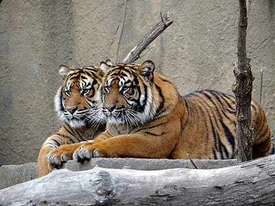 two tigers lying on gray wooden surface