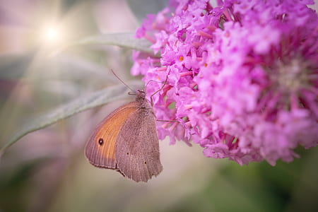 meadow brown butterfly perched on pink cluster flower