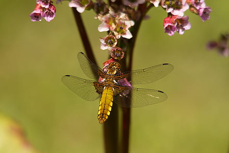 beige and black dragonfly on top of pink-petal flower