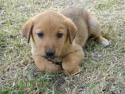 tan Indian pariah puppy