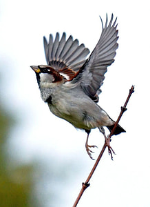 focus photography of tree sparrow