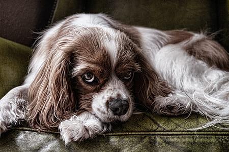 adult blenheim Cavalier King Charles spaniel lying on brown leather sofa chair