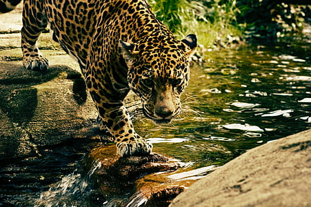 brown and black cheetah on body of water