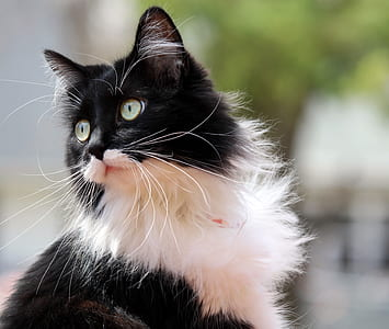 selective focus photography of long-furred black and white cat