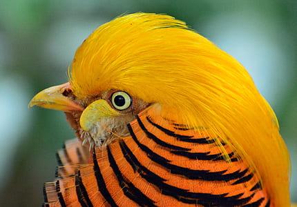 closeup photography of yellow pheasant
