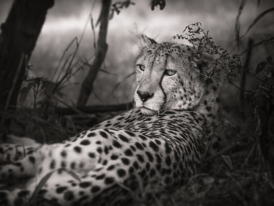 grayscale photograph of leopard