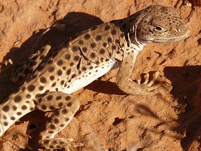 brown polka-dot reptile on brown soil