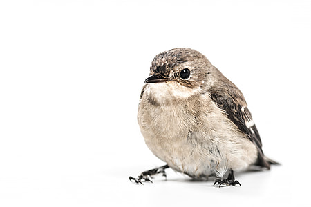 photography of gray and brown bird in white background