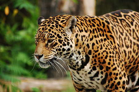 jaguar during daytime