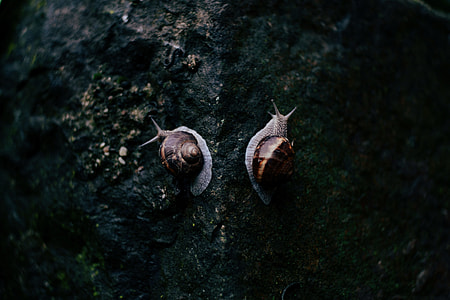photography of two brown and gray snails on black rock surface