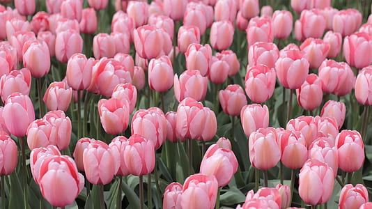 closeup photography of pink tulips
