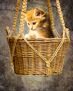 orange tabby cat in hanging wicker basket
