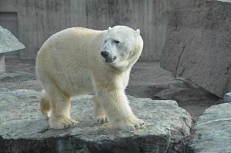 polar bear on gray rock