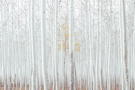 forest of white trees photo