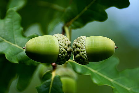 oval green fruits
