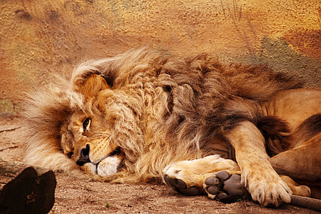 adult brown lion laying on ground